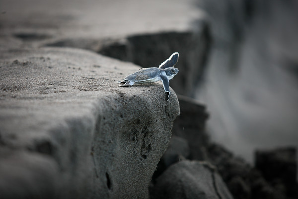 Tortuguero, Costa Rica, 2010: A green turtle hatchling takes a leap of faith on her journey to sea.