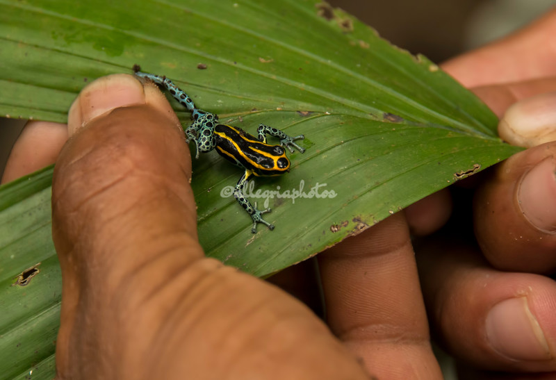 Poisonous Dart Frog, Upper Amazon, Peru