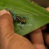 Poisonous Dart Frog, Upper Amazon, Peru