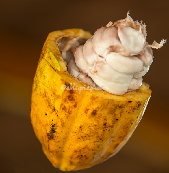 Split Cacao Bean, Upper Amazon, Peru