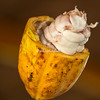A split cacao bean. Inside each white pod are the actual beans which are used to make chocolate. Upper Amazon, Peru