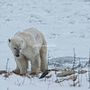 Young polar bear on a kelp bed, Hudson Bay, Churchill, Canada