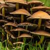 Mushrooms, Lombardy