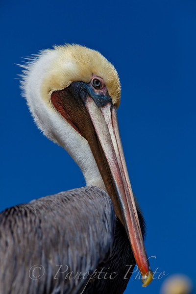 This image can be found in the Animals - Pelicans and Sea Lions gallery.