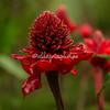 Emperor's Walking Stick flower, Upper Amazon, Peru