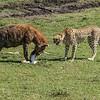 Hyena eats the kill stolen from a Cheetah as the Cheetah looks on, Maasai Mara, Kenya
