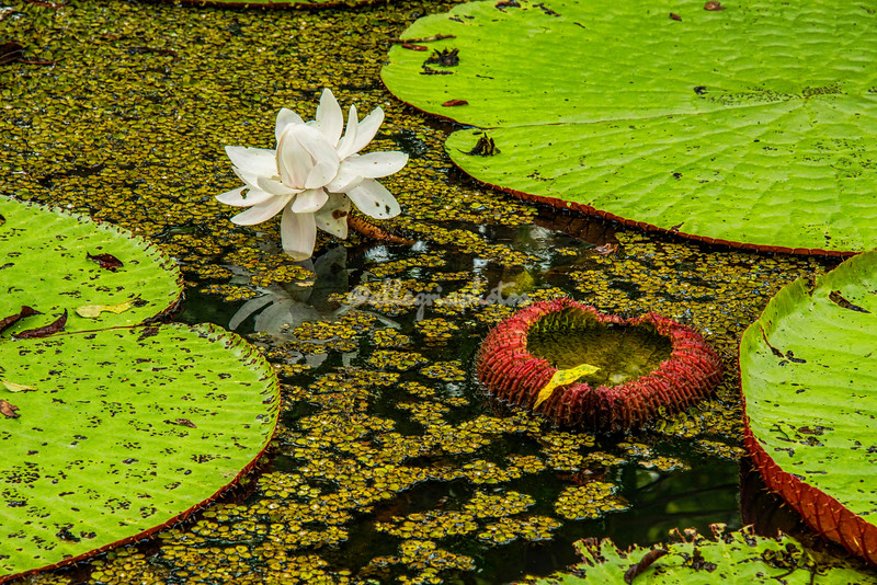 Giant Lily Pads, Upper Amazon, Peru
