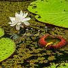 Giant Lily Pads, Upper Amazon, Peru