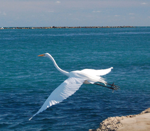 You'll see Great Egrets standing looking at the water, they're white whispy feathers blowing with every breeze. When they take flight, you understand their name. Beautiful....