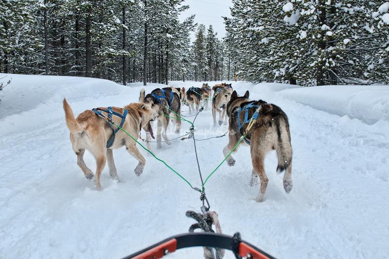 Dogsledding, West Yellowstone, Montana