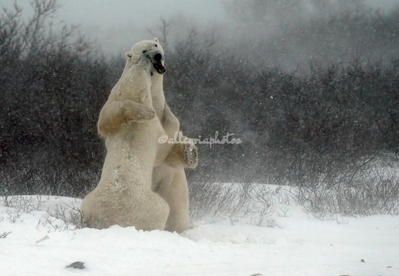 Two male polar bears, Churchill, Canada