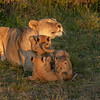 Lioness with her cubs in the early morning, Maasai Mara, Kenya