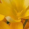 Yellow Crocus copy website