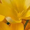 Yellow Crocus copy website