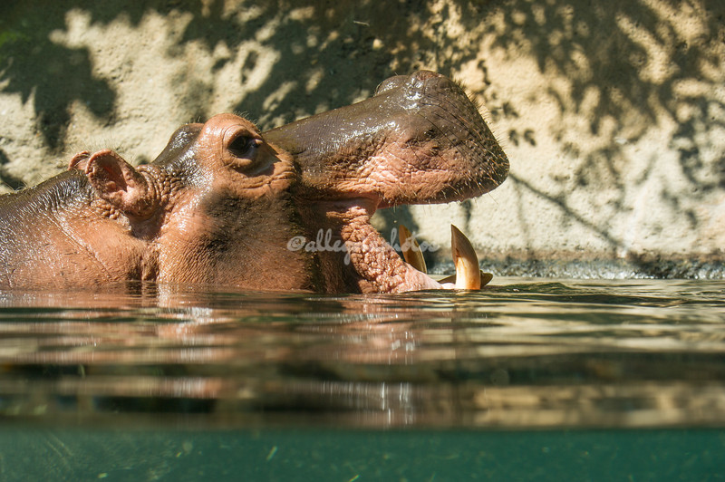 Open mouthed hippopotamus