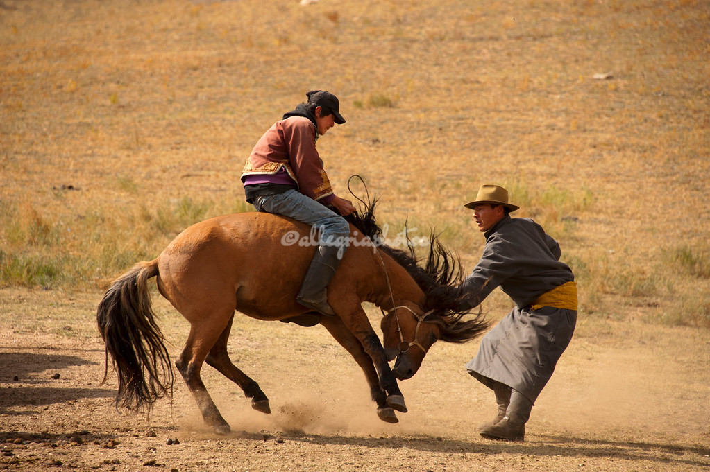A young Mongolian boy attempts to ride a bucking horse being held by the horse wrangler.