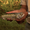 Freshwater barracuda, Upper Amazon, Peru