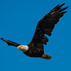 Bald Eagle Flying D800 website
