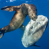San Diego, CA. November 19, 2015. A sunfish (Mola mola) watches as a California sea lions (Zalophus californianus) breaks its tough skin. Due to the current El Nino regime, much of the sea lion's usual prey is up north in cooler waters. Forcing them to eat whatever is available.