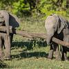 Elephant calves moving a broken branch, Maasai Mara, Kenya