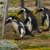 Magellanic penguins, Otway Sound, Punta Arenas, Chile