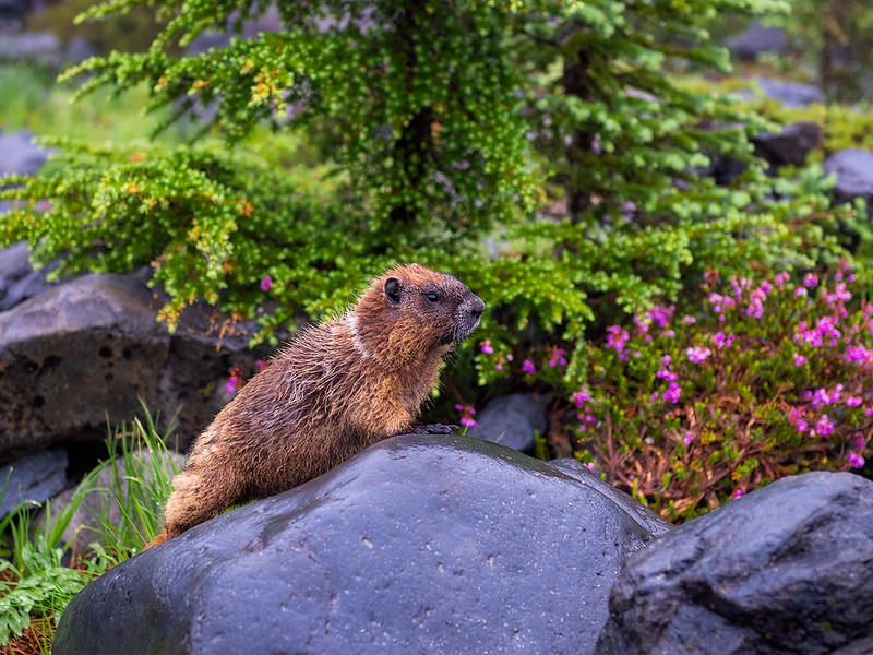 Marmot Shower Rainier website