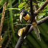 A collared Aracari