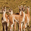 "A group of ""Chulengos"" (baby guanacos), Torres del Paine, Patagonia, Chile"