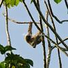 Three-toed sloth, Upper Amazon, Peru