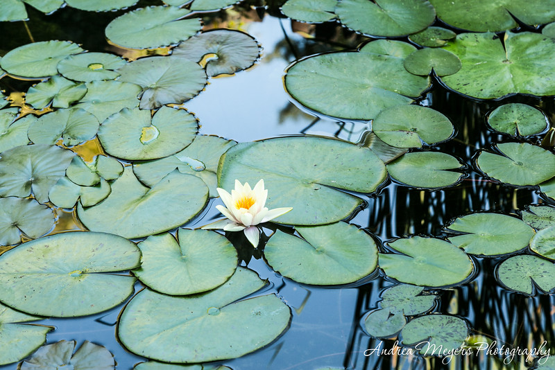 Waterlilies in the pond at the Gamble House, Pasadena