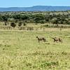 The Cheetahs' Domain, Maasai Mara, Kenya