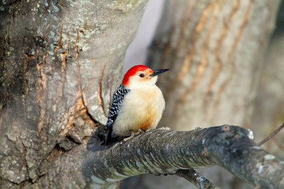 Cold Red Bellied Woodpecker