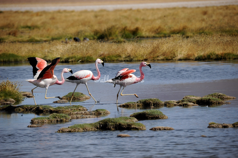 Flamingos, Atacama Desert, Chile