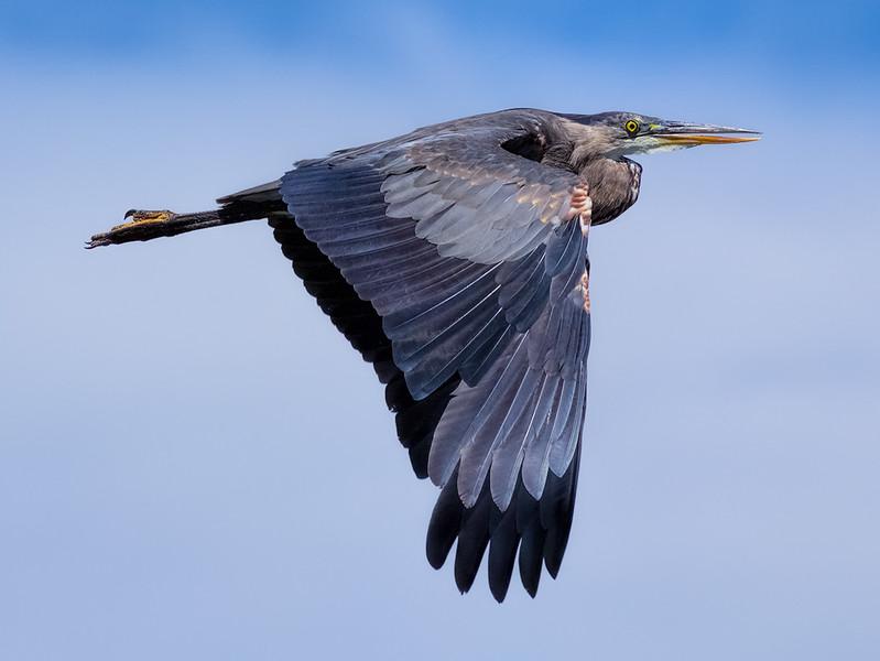 Blue Heron #1