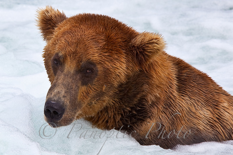 This image can be found in the Animals->Grizzly Bears.