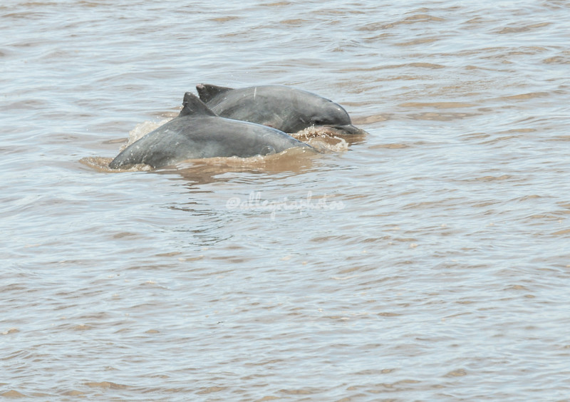 Grey Dolphins, Ucayali River, Upper Amazon, Peru