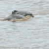 Grey Dolphins, Ucayali River, Upper Amazon, Peru