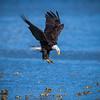 Diving Bald Eagle copy website