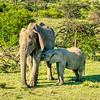 Nursing elephant calf, Maasai Mara, Kenya