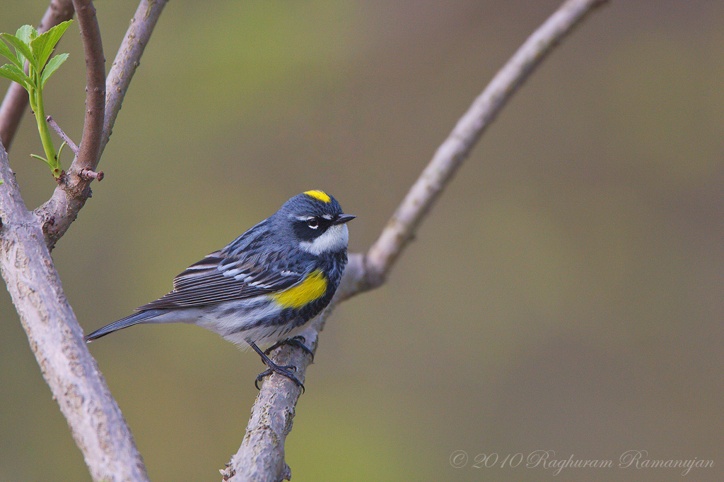 Yellow-rumped Warbler<br /> Ithaca, NY