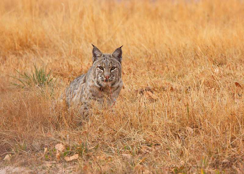 Bobcat<br /> Bosque del Apache, NM