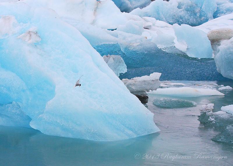 Arctic Tern<br /> Jökulsárlón, Iceland