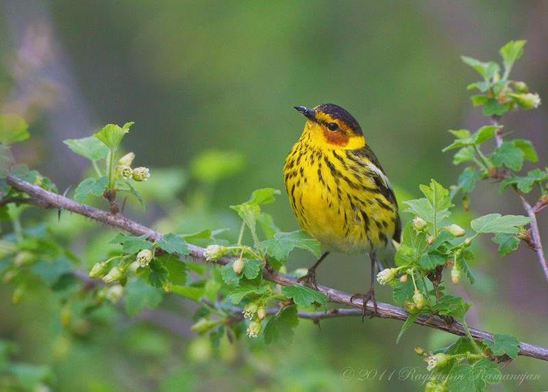 Cape May Warbler<br /> Point Pelee National Park, ON