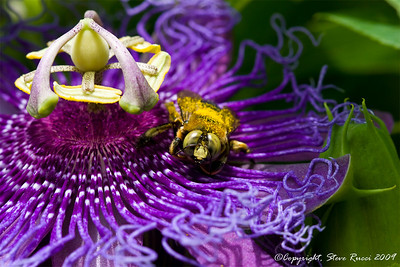 A bee collecting pollen on Passionflower.