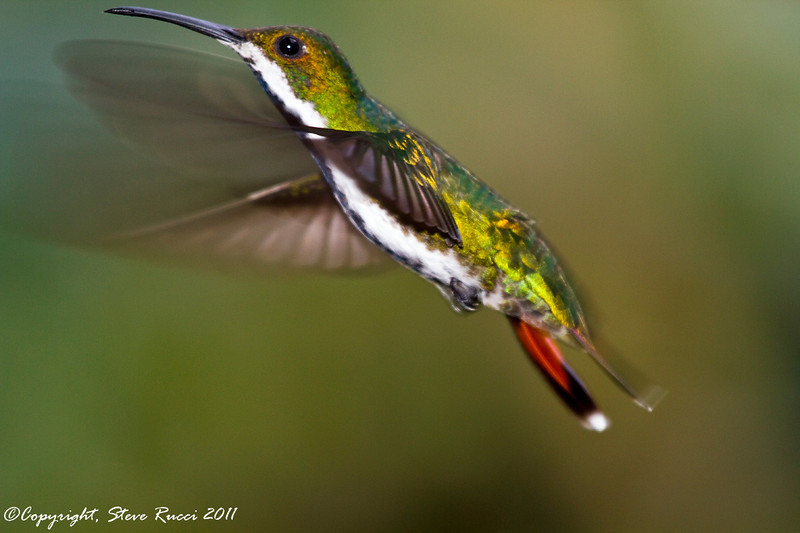 Black Throated Mango Hummingbird (female).