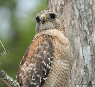 Red Shouldered Hawk - Corkscrew Swamp Sanctuary