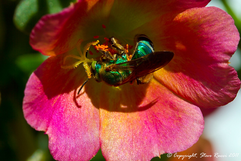 Green Metallic Bee (Family Halictidae)