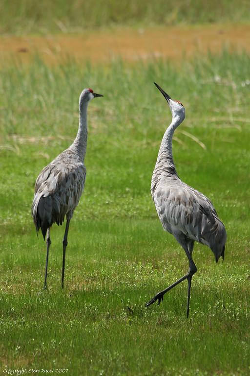 Sandhill Cranes, North-Central Florida