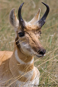 Pronghorn - Custer State Park, South Dakota.
