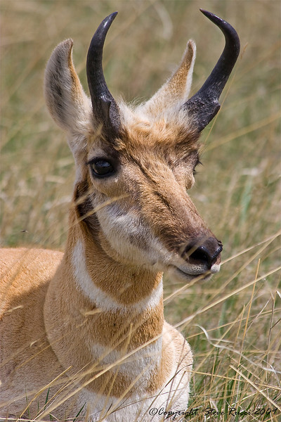 Male Pronghorn Antelope - Custer State Park, South Dakota.